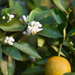 Royalty-Free Stock Photo: Orange Blossoms