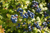 Field of Blueberries — Stock Photo