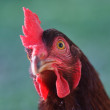 Rhode Island Red Chicken Head — Stock Photo