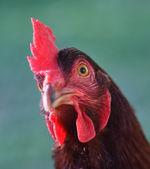 Rhode Island Red Chicken Head — Stock Photo