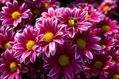 Beautiful chrysanthemums — Stock Photo