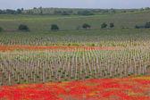 Beautiful poppy field — Stock Photo