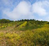 Vineyard by springtime on background sky — Foto Stock