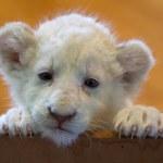 White lion cub — Stock Photo