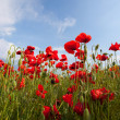 field poppy — Stock Photo