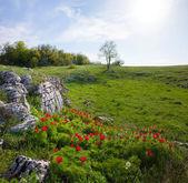 Crimean peony — Stock Photo
