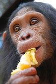 Young Chimpanzee eats orange — Stock Photo