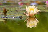 Triton near water lilies — Stock Photo