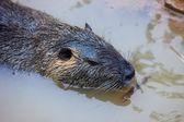 Nutria (nutria Myocaster) — Стоковое фото