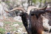 дикие горные козлы — Стоковое фото