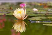 Triton near water lilies — Zdjęcie stockowe