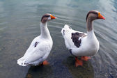 Geese in lake — Stock Photo