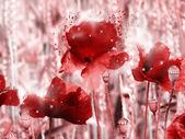 Red poppy field — Stock Photo
