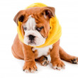 English Bulldog dog — Stock Photo