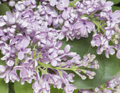 Lilac branch close up. — Photo
