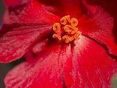 Begonia. — 图库照片