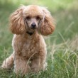 Poodle. — Stock Photo
