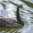 Beautiful black swan. — Stock Photo
