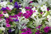 Garden flowers. — Stock Photo