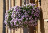 Petunia flowers. — Stock Photo