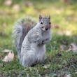 Grey squirrel in the Central park. — Zdjęcie stockowe