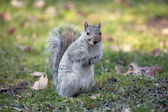 Grey squirrel in the Central park. — Stock Photo