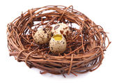 Raw guail eggs — Stock Photo