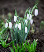 Snowdrops in garden — Stock Photo