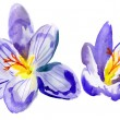 Crocus flowers. watercolor — Stock Photo