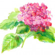 Pink hydrangea on a white background . watercolor — Stock Photo