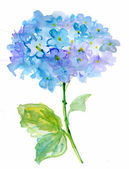 Beautiful Hydrangea blue flowers, watercolor illustration — Stock Photo