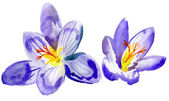 Crocus flowers. watercolor — Stock Photo