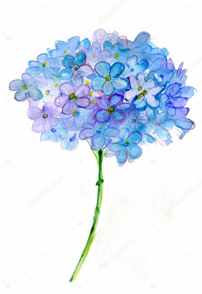 beautiful hydrangea blue flowers watercolor illustration. Black Bedroom Furniture Sets. Home Design Ideas