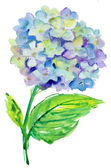 Beautiful Hydrangea blue flowers, watercolor illustration — Stock Photo