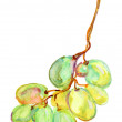 Stock Photo: Watercolor grapes