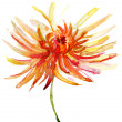Watercolor illustration with beautiful chrysanthemum flower. — Stock Photo
