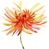 Watercolor illustration with beautiful chrysanthemum flower. — Stock Photo