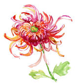 Watercolor illustration with beautiful chrysanthemum flower. — Stok fotoğraf