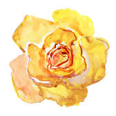 Yellow rose flower — Stock Photo