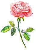 Pink rose. — Photo