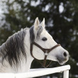 Stock Photo: White horse in winter