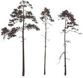 Pine — Stock Vector