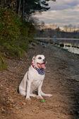 Bulldog on location — Stock Photo