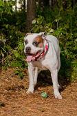 Bulldog with tennis ball — Stock Photo