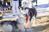 Two husky dogs playing together outdoors — Stock Photo