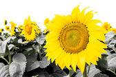 Close-up van zonnebloem tegen een geïsoleerd luchtruim — Stockfoto