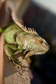 Iguana avkopplande i solen — Stockfoto