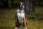 Boxer Detoured — Stock Photo