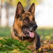 German Shepherd Dog Laying On Grass — Stock Photo