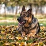 German Shepherd Alsatian Police Dog — Stock Photo #37769337